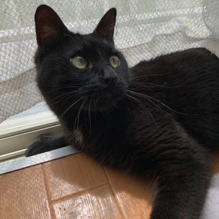人懐っこい黒猫の里親募集 - 猫