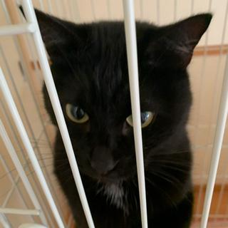 人懐っこい黒猫の里親募集 - 甲府市