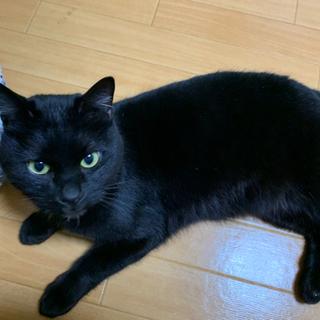 人懐っこい黒猫の里親募集 − 山梨県