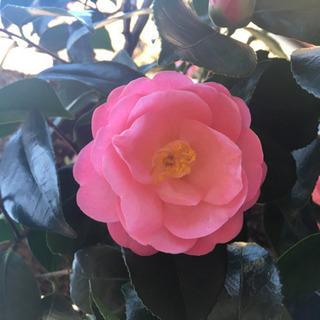 椿の種(ピンクの品種)