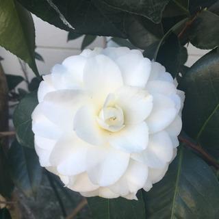 椿の種(白い品種)