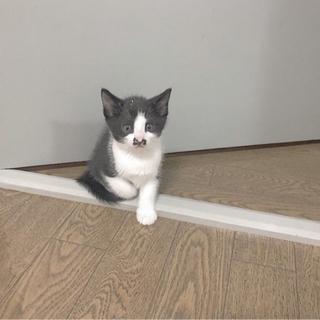 生後二ヶ月と十日ほどの仔猫の里親様をお探ししております