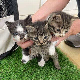 生後2~3週間の仔猫3匹保護しています。