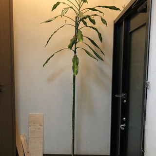 【ネット決済】観葉植物 2.6m