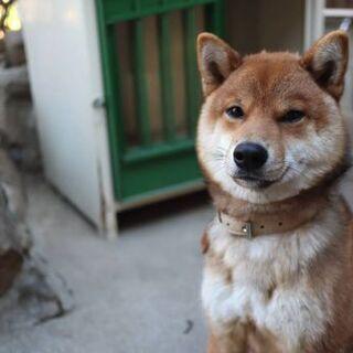 3歳の柴犬です。
