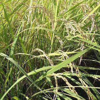 低農薬令和3年産 新米コシヒカリ白米10kg