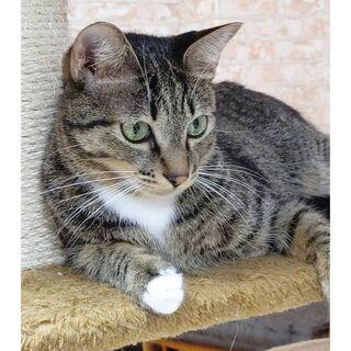 キジ白の白ソックスがかわいい1歳男の子 - 猫