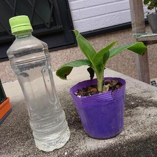 【ネット決済】ドワーフモンキーバナナの苗木