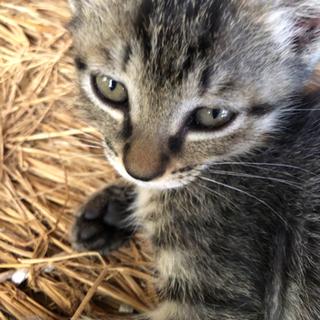 子猫 トラ模様