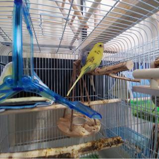 セキセイインコ イエロー ブルー 出来れば2羽一緒に!