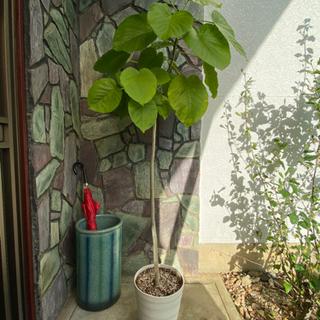 お値下げ フィカスウンベラータ   観葉植物