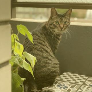 キジトラ猫オスのダイチくん探してます