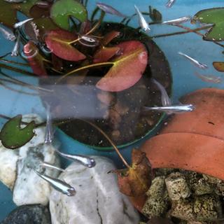 メダカ(みゆき)稚魚 40匹以上