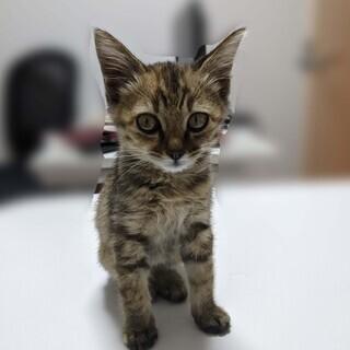 仔猫の里親になってくれる方を探しています(生後 2カ月くらい,さび猫)