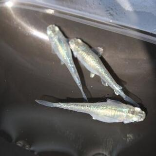 【若魚】緑光メダカ 10匹