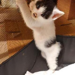 <残り1匹>子猫の里親様募集中です。