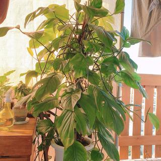 モンステラ 大型 観葉植物