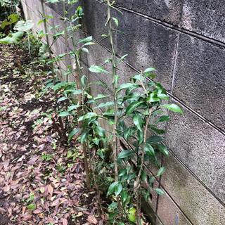 柚子の苗木 - 中野区