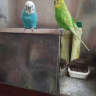 セキセイインコ2羽差し上げます。引っ越し先がペット不可の為飼い続...