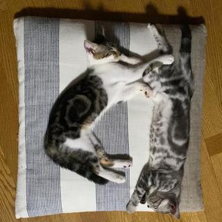 アメショ混じりの美ミケ猫ちゃん