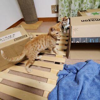 3ヶ月の子猫2匹(三毛猫メス、茶トラオス) − 千葉県