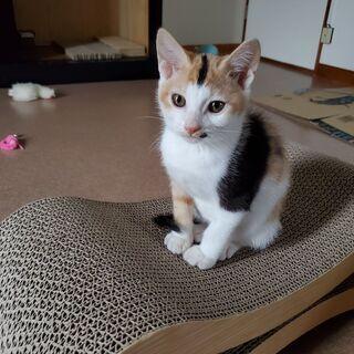 3ヶ月の子猫2匹(三毛猫メス、茶トラオス) - 猫