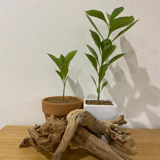 【ネット決済】バオバブの苗木2本+流木二つセット