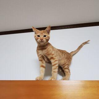 3ヶ月の子猫2匹(三毛猫メス、茶トラオス) - 里親募集