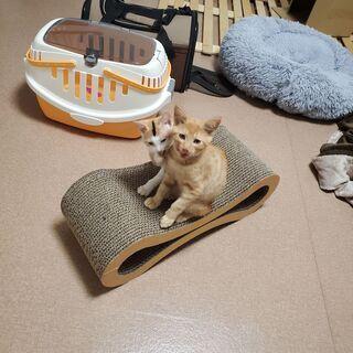 3ヶ月の子猫2匹(三毛猫メス、茶トラオス) - 習志野市
