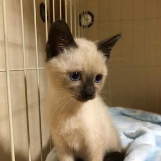 (ビーちゃん)ビー玉みたいなキレイな青い目。元気な男の子。2カ月。