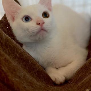オッドアイ兄弟❣️そい♂&だいず♀白猫 推定4ヶ月