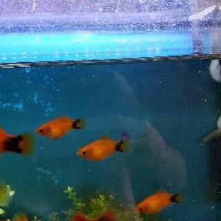 熱帯魚プラティーあげます