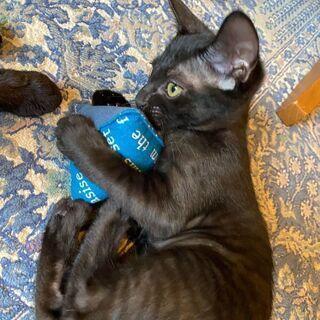 生後4ヶ月位 小顔で大きな耳と長いしっぽがチャームポイントな黒猫...