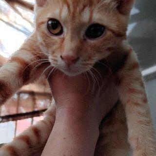 推定3.5ヶ月茶トラ女の子とキジトラ推定1歳母猫 - 上野原市