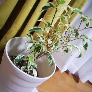ベンジャミン観葉植物の画像