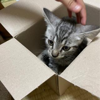急募!!グレーの子猫⭐︎トライアル決定