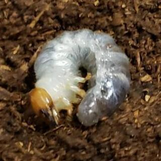 オオクワガタの幼虫お譲りします