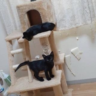 生後3ヶ月の黒猫ちゃん - 高松市