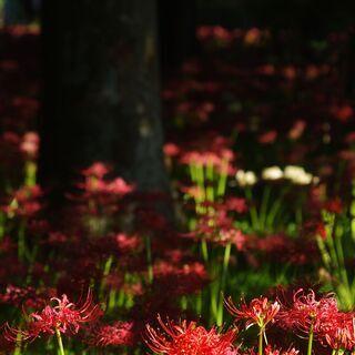 ヒガンバナ・秋桜を撮りに行こう!