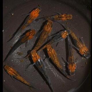 【メダカ】女雛ラメ 有精卵25個+α5個