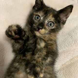 子猫【さび柄】メス★とっても愛らしい2ヶ月の女の子