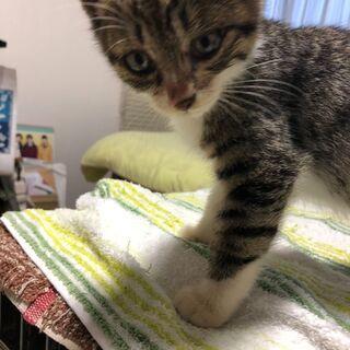 とっても人懐こい子猫兄弟★男の子【キジシロ】2ヶ月半 - 猫