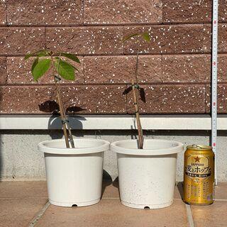 ポポー4異品種の交配種苗木(実生3年生苗)2苗
