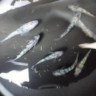 【メダカ】白ぶちラメ サファイア系 有精卵 セット【残2】