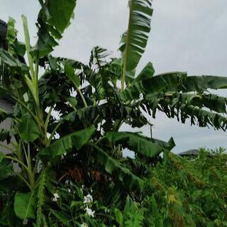 希少!露地植え可 アイスクリームバナナの特大苗