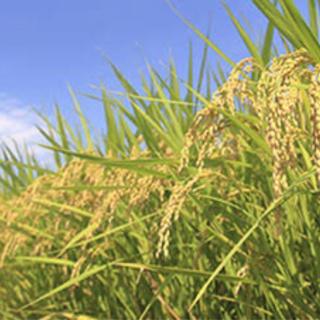 2021年 新米穫れました☺️個数制限なし