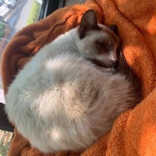 目が真っ青なシャム猫ちゃん