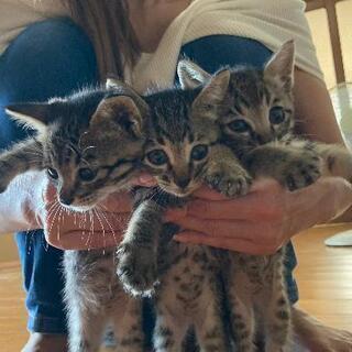 キジ猫三姉妹