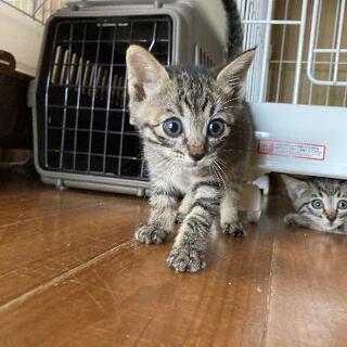 キジ猫三姉妹 里親様決まりました - 里親募集