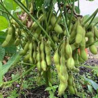 枝豆選別、機械操作の補助